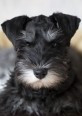 Miniature Schnauzer, 5 months, Black